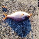 仲間の2匹目3匹目も海タナゴ